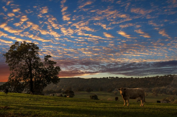 Cows at sunset by Ren Theelen