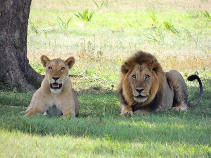 Female and male African lion